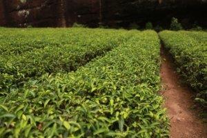 Teebaumöl Milben teebaumöl für die schmerzbekämpfung neu